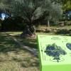 Catalogación de olivos milenarios en Viinaròs